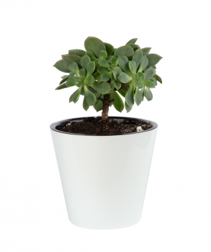 Plant `Eco Garden` Begonia №2