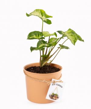 Plant `Eco Garden` Singonium №1