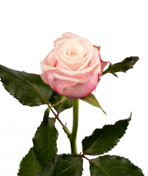 Վարդ «Lady Raphaela» վարդագույն