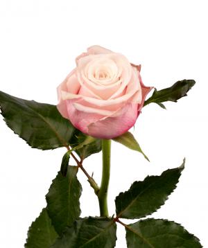 Rose `Lady Raphaela` pink