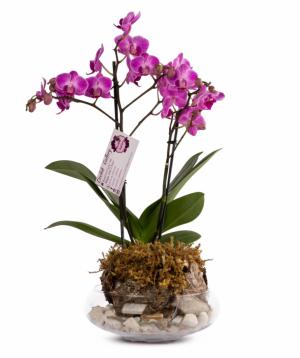Խոլորձ (Օրխիդ) «Orchid Gallery» №15
