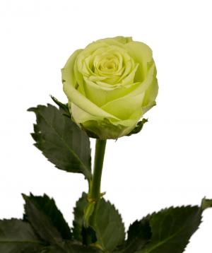 Վարդ «Green gene» կանաչ