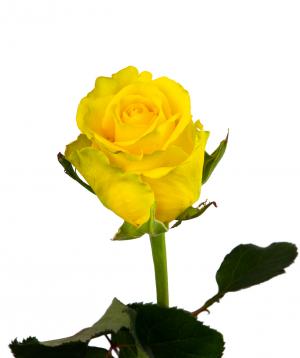 Գյումրվա վարդ «Penny Lane» դեղին 80 սմ