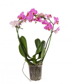 Բույս «Orchid Gallery» Խոլորձ (Օրխիդ), կամարաձև №18