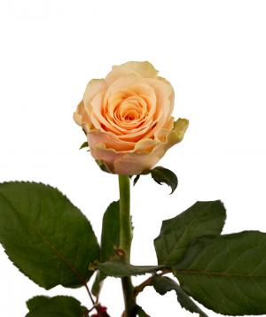 Rose `Primavera` peach