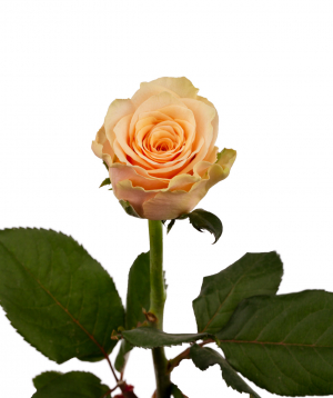 Վարդ «Primavera» ծիրանագույն