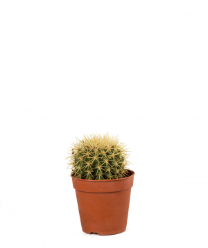 Plant `Orchid Gallery` Cactus №21