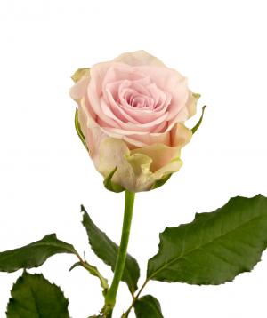 Rose `Silverado` light purple