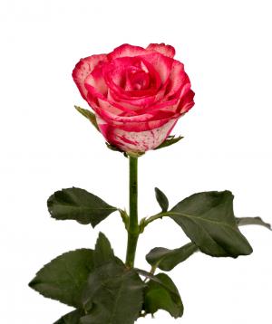 Վարդ «Baracuda» վարդագույն