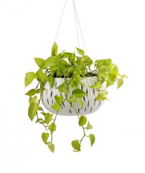 """Plant """"Grig Garden"""" Stsindapsus"""
