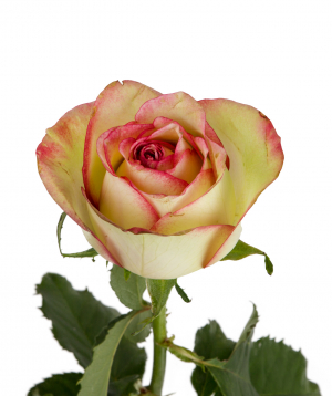 Վարդ «Brocante» վարդագույն