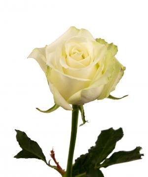 "Rose ""Polar star"" white"