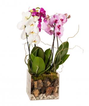 Կոմպոզիցիա «Orchid Gallery» խոլորձներով №1