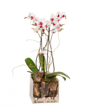 Խոլորձ (Օրխիդ) «Orchid Gallery» ապակյա տարայով №17