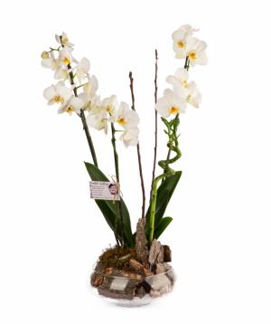 Բույս «Orchid Gallery» խոլորձ (Օրխիդ) №4