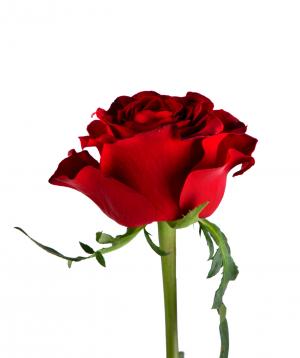 Վարդ «Gladiator» կարմիր