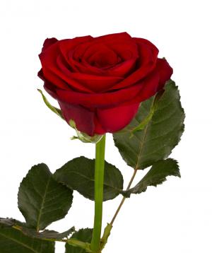 Rose `Montana` red