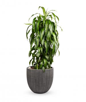"""Plant """"Grig Garden"""" Dracaena №4"""