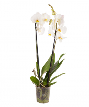 Plant `Orchid Gallery` Orchid №19